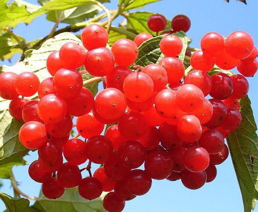 Об огромной пользе калины можно рассуждать долго.  Её ягоды, собранные сразу же после первых заморозков...